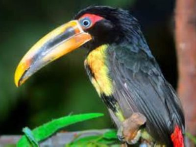 Pale Mandibled Aracari As Pets