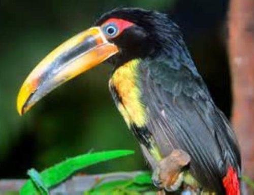 Pale Mandibled Aracari as Pets