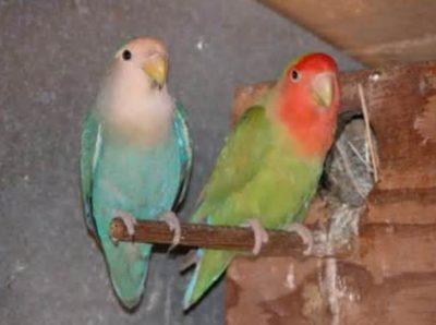 Peach Faced Lovebirds as Pets