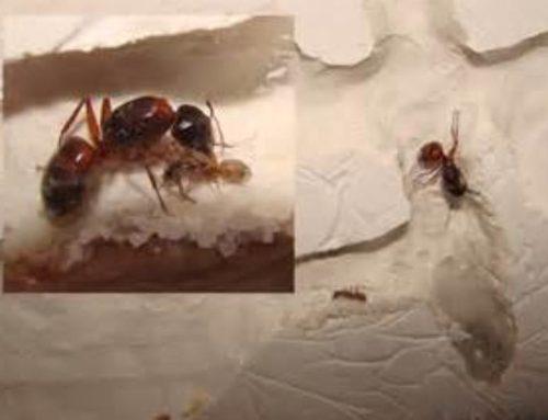 Pet Ants