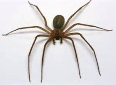Pet Brown Recluse Spider