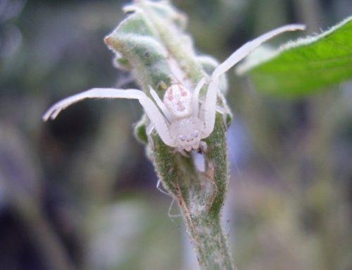 Pet Crab Spiders