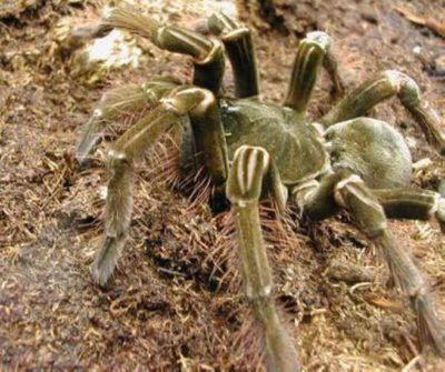 Pet Goliath Bird Eating Spider