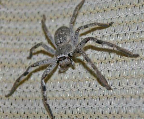 Pet Huntsman Spiders