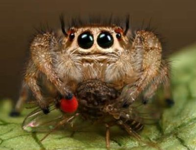 Pet Jumping Spiders