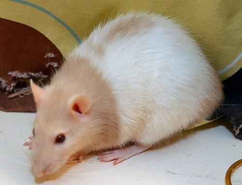 Pet Mice Health