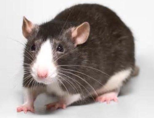 Pet Mice Varieties