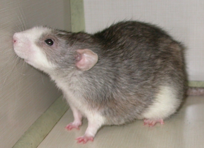 Pet Rat Body Type