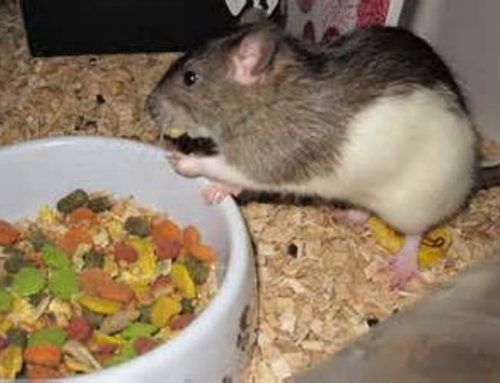 Pet Rat Food