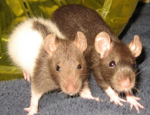 Pet Rat Safety – yours and your rats!