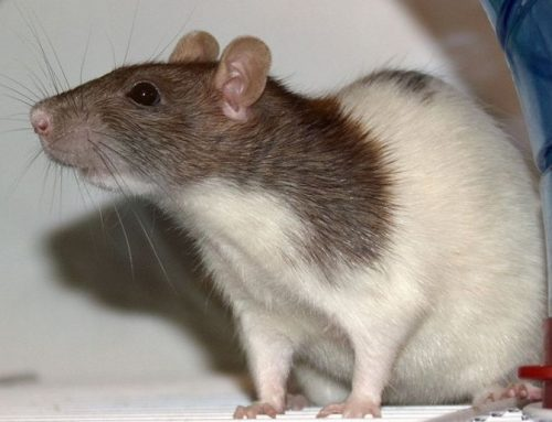 Pet Rat Selective Breeding