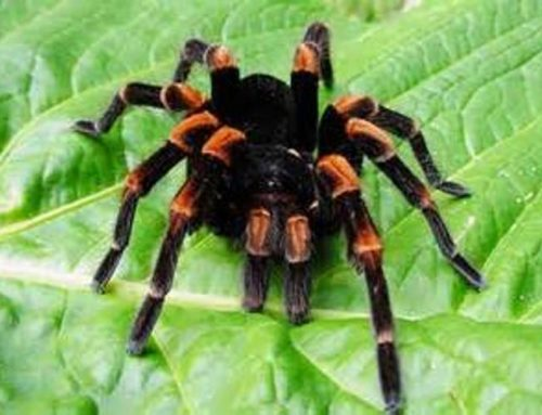 Pet Spider Food