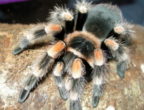 Pet Spider Risks and how to avoid them