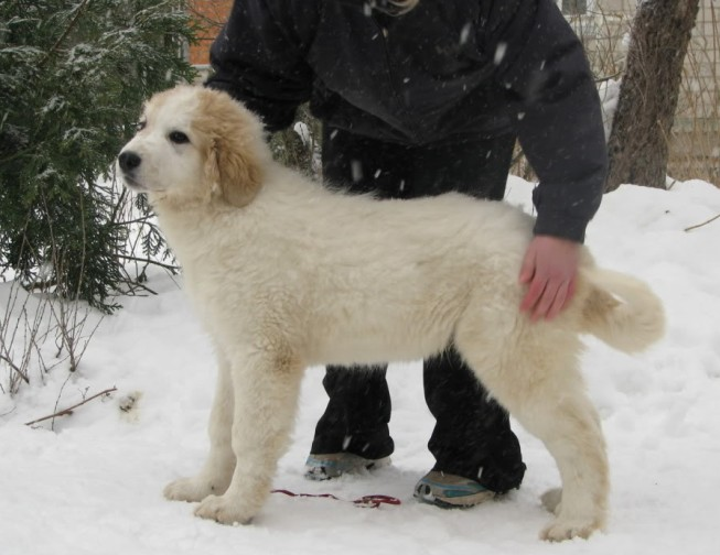 Pyrenean Mountain Dog – Great Pyrenees