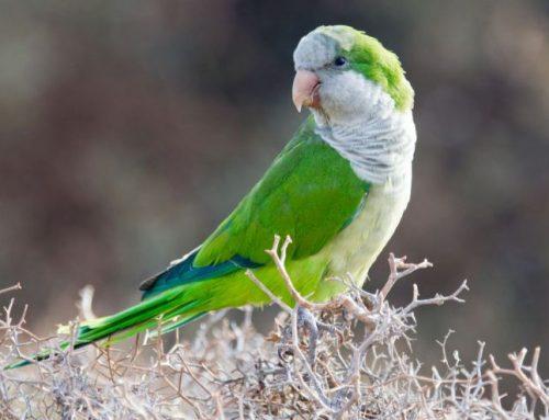 Quaker (Monk) Parakeet