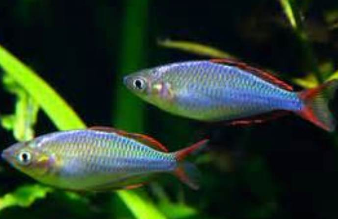 Rainbowfish as Aquarium Fish