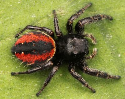 Red House Spiders as Pets