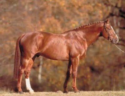 Selle Francais / French Saddle Horse