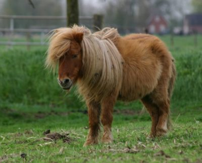 Shetland Ponies and Highland Ponies