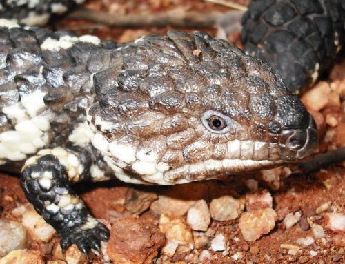 Reptiles as Pets