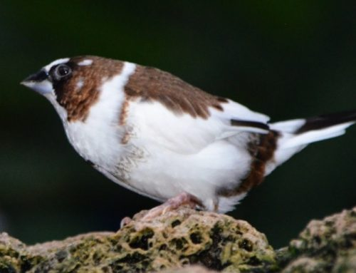 Society Finch (Bengalese Finch)