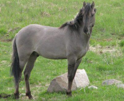 Sorraia and Garranos Horse