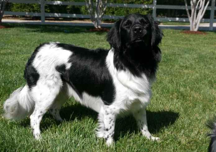 Stabyhoun – Stabij Dog