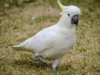 Sulphur-Crested Cockatoo As Pets
