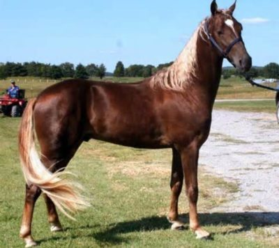 Tennessee Walking Horse (Tennessee Walker)