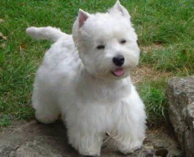West Highland White Terriers – Westie