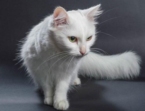 Angora Cat