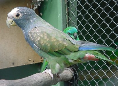 White-Capped Pionus