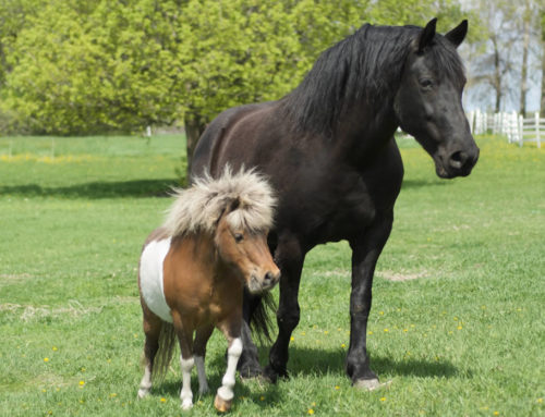 Horse Breeds, Types and Sizes