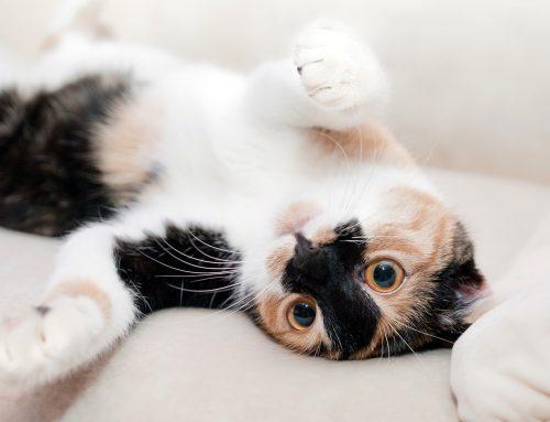 Feline Skin and Fur