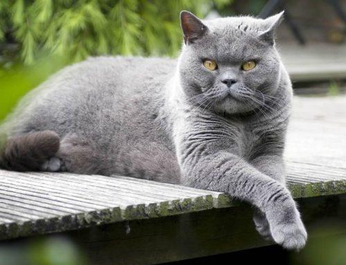 Feline leukemia virus FeLV