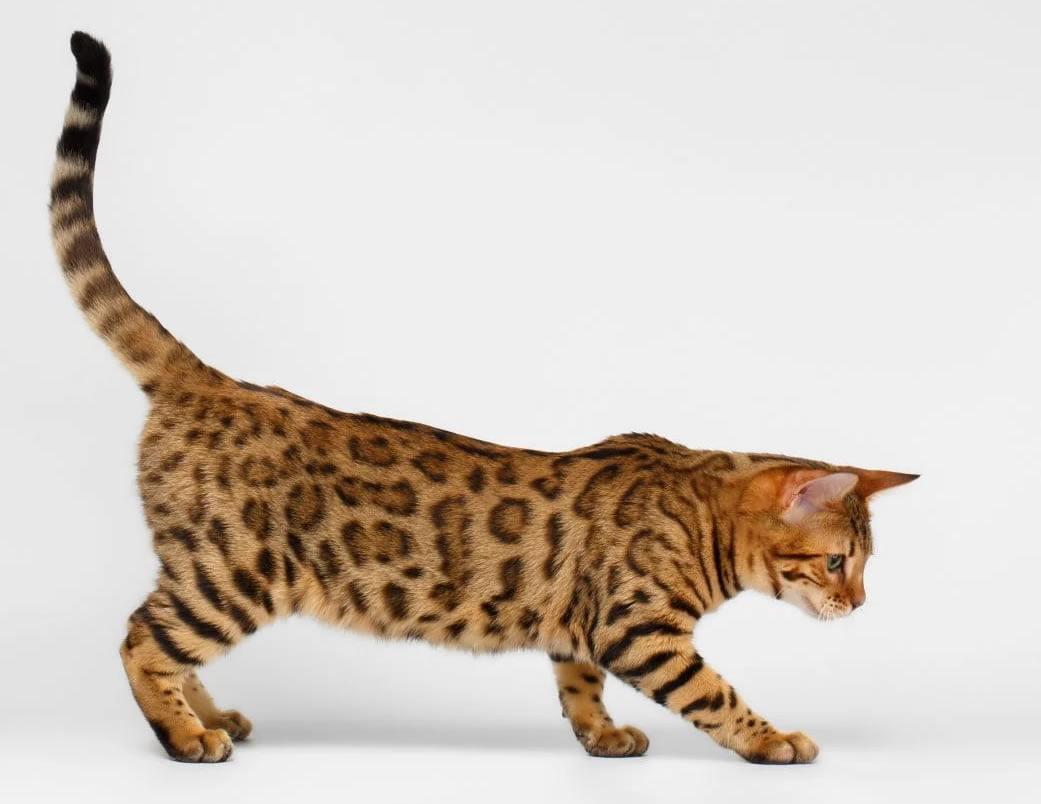 kỷ lục loài mèo
