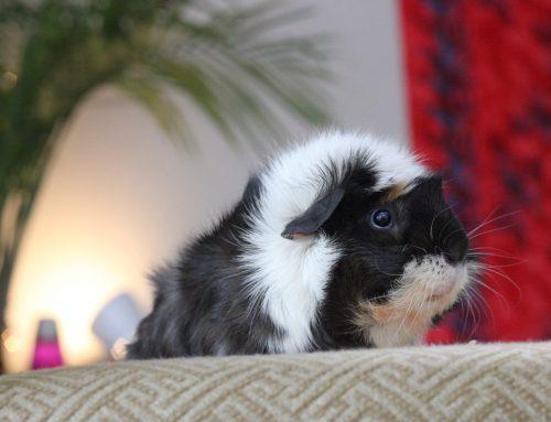Guinea pigs – Perhaps the best apartment pet