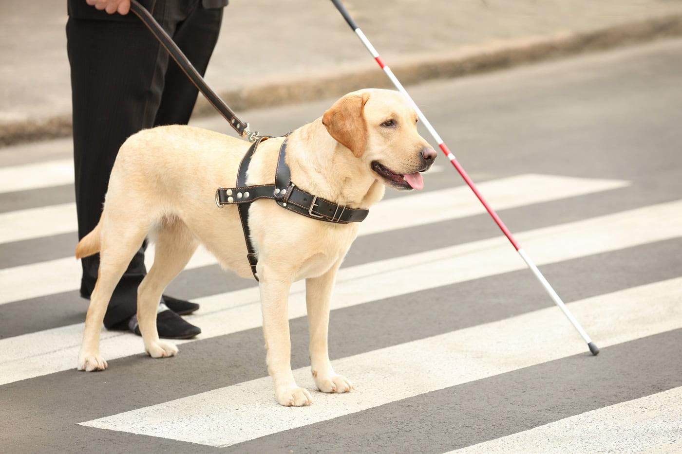 guide dog helping man